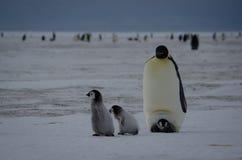 Fyra fågelungar och förälder för kejsarepingvin Fotografering för Bildbyråer