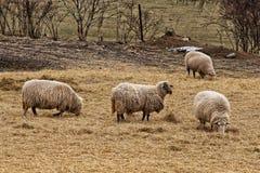 Fyra får på det gula gräset och sugröret royaltyfri foto