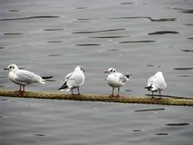 Fyra fiskmåsar Fotografering för Bildbyråer