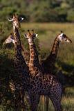 Fyra giraff Alert djurliv för öron arkivbild