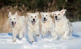 Fyra golden retrieverhundkapplöpning som utomhus kör i vinter Royaltyfri Bild
