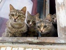 Fyra gråa kattungar ser ut fönstret på gatan Arkivbild