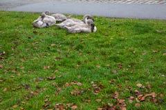 Fyra gråa svanar arkivfoto