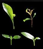 fyra grön planta på svart, inklusive snabb bana Royaltyfri Bild