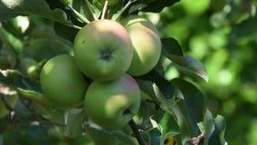 Fyra gröna äpplen på en frunch lager videofilmer