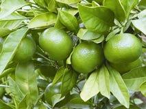 Fyra gröna tangerin i fokus Royaltyfria Bilder