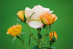 Fyra (4) guld- rosor runt om en vit-/rosa färgros Royaltyfri Bild