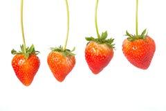Fyra hängande röda jordgubbar Royaltyfria Bilder