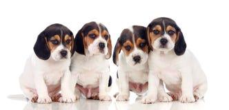 Fyra härliga beaglevalpar Royaltyfri Bild