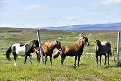Fyra härliga icelandic hästar på betar nära Husavik arkivfoton