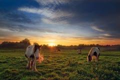 Fyra hästar i fält på solnedgången Arkivbilder