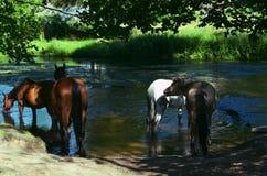 Fyra hästar som dricker flodvatten royaltyfria bilder