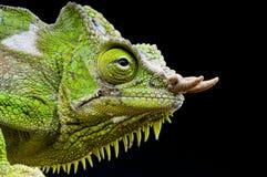 Fyra-horned kameleont-/Trioceros quadricornis Fotografering för Bildbyråer