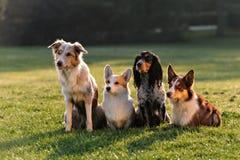 Fyra hundkapplöpning som sitter i parkera arkivfoto
