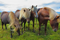 Fyra isländska hästar Royaltyfri Fotografi