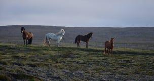 Fyra isländska hästar i aftonljuset royaltyfri foto