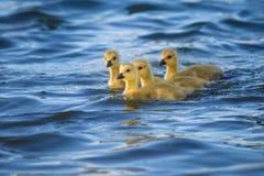Fyra Kanada gässlingar på blått vatten Royaltyfria Foton