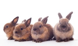 Fyra kaniner som isoleras på viten. arkivbilder
