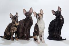 Fyra katter corniska Rex Royaltyfria Foton