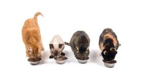 Fyra katter i olika färger och format som äter ut ur bunkar Royaltyfri Fotografi