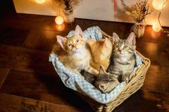 Fyra kattungar i en korg ålder 1 månad royaltyfri foto