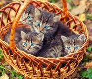 Fyra kattungar i en korg Fotografering för Bildbyråer