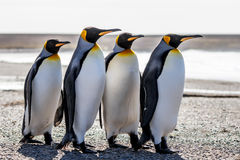 Fyra konung Penguins (Aptenodytespatagonicus) som tillsammans står nolla Arkivfoton