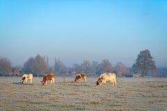 Fyra kor på en äng som täckas med rimfrost Arkivbild