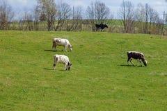 Fyra kor på gräsplan betar arkivbilder