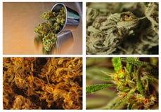 Fyra kvaliteter av marijuania Royaltyfria Bilder