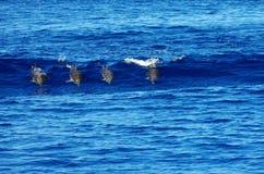 Fyra lösa delfin Arkivbild