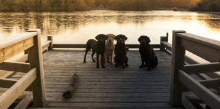 Fyra labradors Arkivfoton