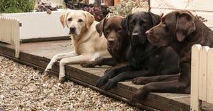 Fyra labradors Arkivbild