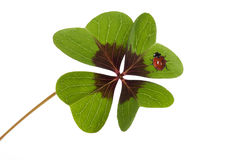 Fyra leaved växt av släktet Trifolium och nyckelpiga Royaltyfri Bild