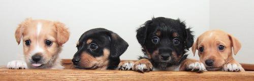 Fyra mycket lilla Terrier valpar Arkivfoton