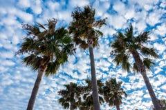 Fyra palmträd mot blåsig blå himmel med moln Fotografering för Bildbyråer