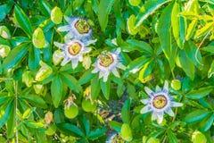 Fyra passionblommor på en passionblomma planterar busken arkivfoto