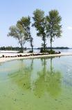 Fyra popplar på flodstranden reflekteras i förorenad grön wa Fotografering för Bildbyråer