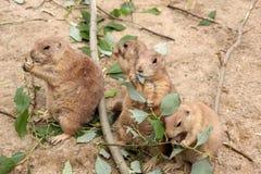 Fyra präriehundkapplöpning som äter sidor Arkivfoto
