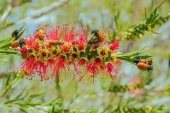 Fyra prickiga bladskalbaggar - Clytra quadripunctata, Mallorca Arkivfoto