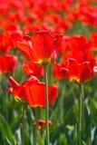 fyra röda tulpan Royaltyfria Bilder