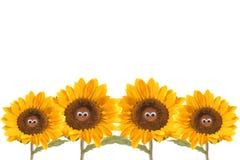 fyra roliga isolerade solrosor Royaltyfri Bild