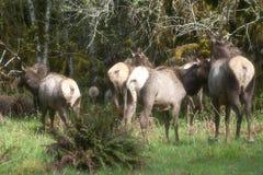 Fyra Roosevelt Elk Butts Arkivfoto