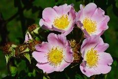 Fyra rosa blommor av parkerar busken rosa Rosa Inodora Arkivfoto