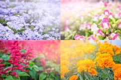 Fyra säsonger av blomman vinter för höstfjädersommar Fyra färger lilor, apelsin som är röd, rosa färg för presentation royaltyfri fotografi