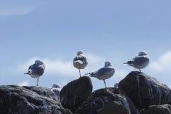 Fyra seagulls som står på ett ben Arkivbilder