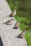 Fyra sparrows Arkivbilder