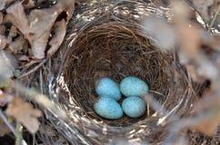 Fyra spräckliga ägg för turkos i redet av den Eurasian koltrasten i deras naturliga livsmiljö arkivfoton