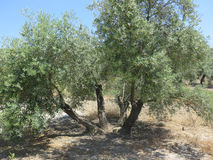Fyra stemmed Olive Tree Royaltyfri Bild
