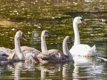 Fyra svanar i sjön Arkivbilder